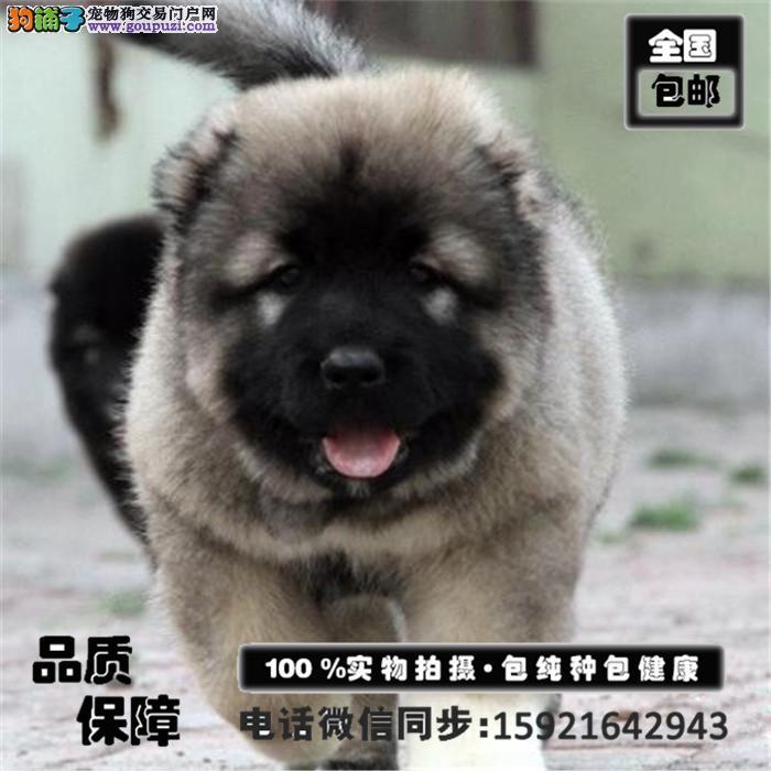 出售极品俄系大骨量巨型熊版高加索犬 血统纯正 包健康