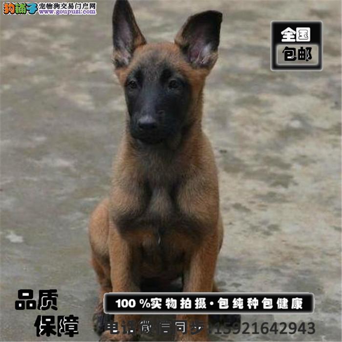 极品马犬出售可训练爬树、翻墙、非常灵活、服从性强