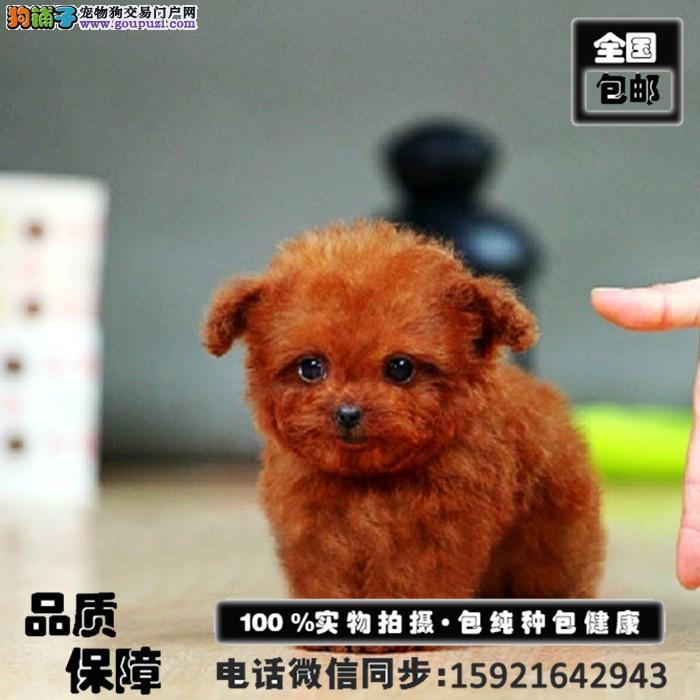 高品质贵宾犬出售 颜色齐全 终身质保 签协议送用品