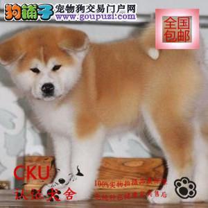 专业养殖基地出售优质忠犬八公秋田犬签协议包养活