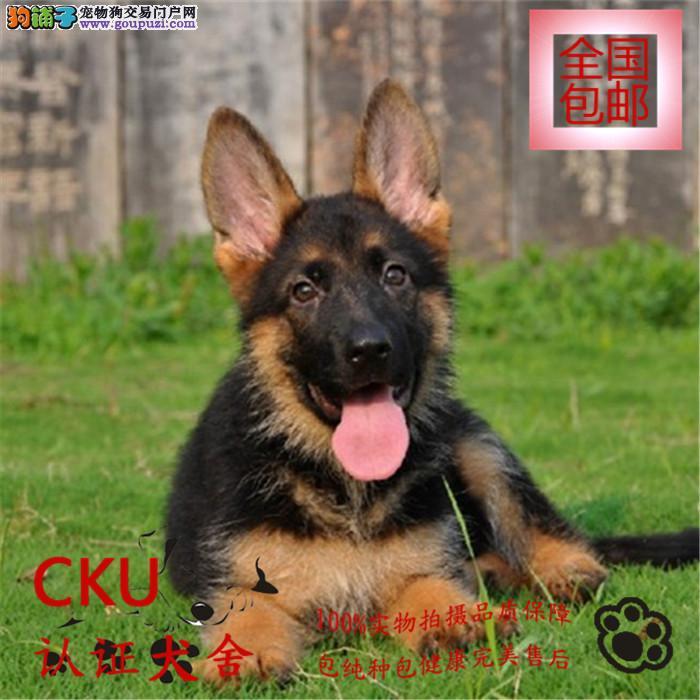 专业出售初种大骨架德国牧羊犬幼犬,包纯种保健康