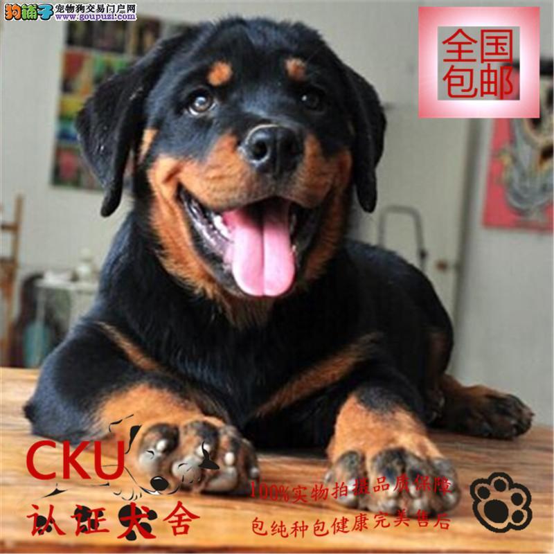 CKU认证犬舍专业繁育出售德系罗威纳 签协议包健康