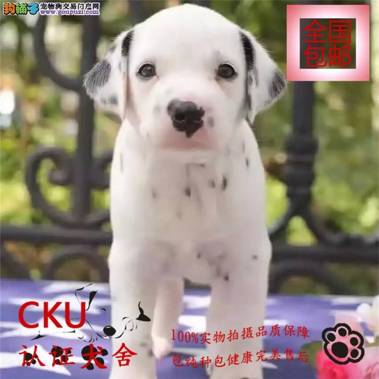 专业繁育出售纯种斑点狗,忠诚可爱 签保障协议 包养活