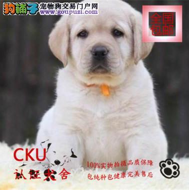 纯种拉布拉多出售、精心繁育品质优良、购犬签保障协议