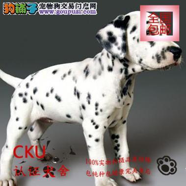 极品斑点狗出售,实物拍摄,签保障协议包养活