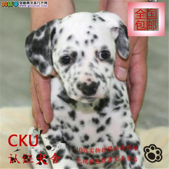 自家繁殖热销斑点狗幼犬 签健康协议 包纯种可送货上门