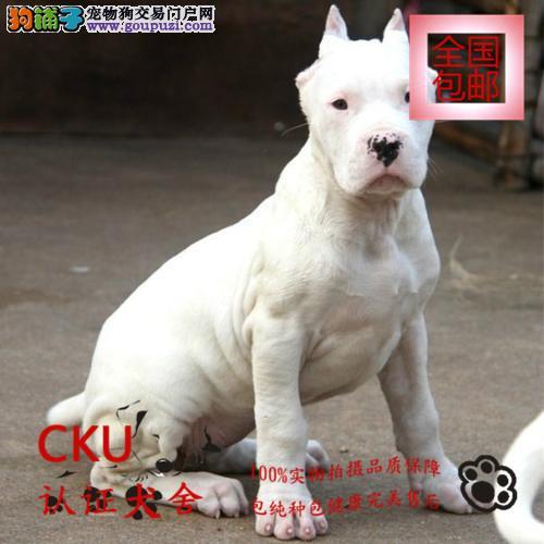 犬舍热卖杜高犬 公母均有 撕咬能力强服从性高终身售后