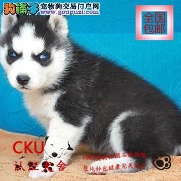 CKU认证犬舍 出售哈士奇 双蓝眼 签协议包健康