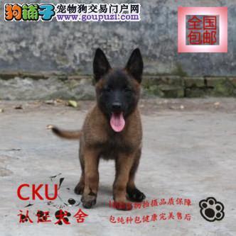 基地直销精品马犬 撕咬能力强 能翻墙 签订质保协议