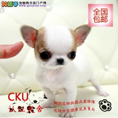 纯种吉娃娃幼犬 公母均有颜色齐全 签协议三年质保