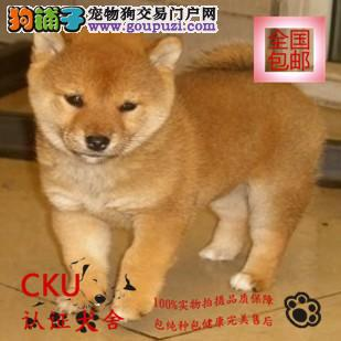 CKU认证犬舍出售极品柴犬 终身包售后 买狗送用品