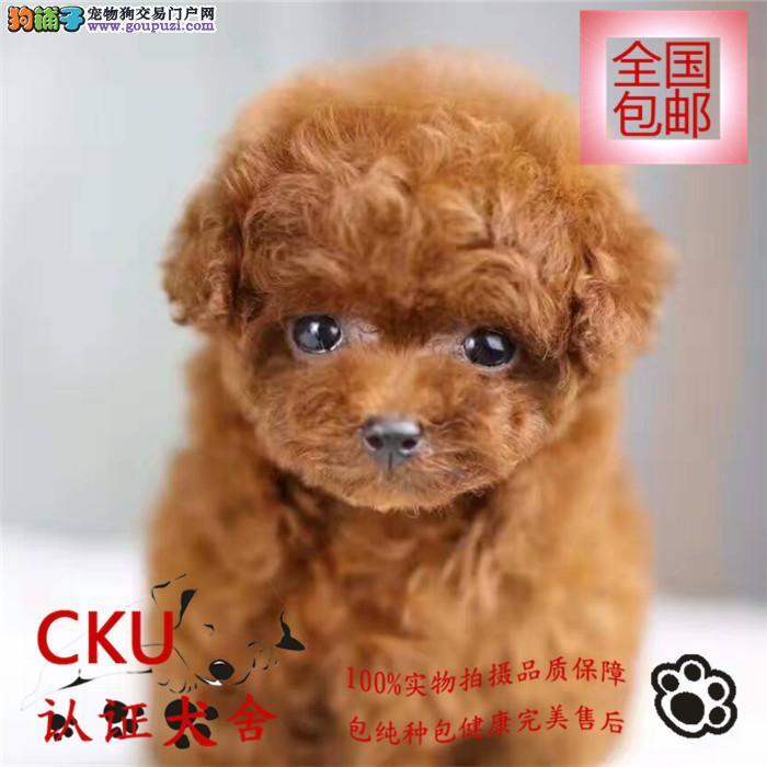 繁育基地直销泰迪犬 聪明伶俐 活泼可爱 可视频挑选