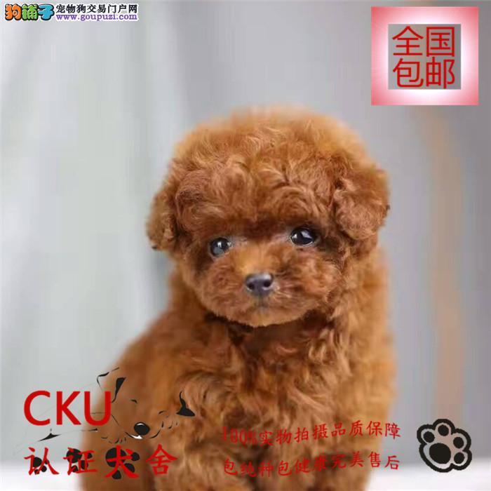 极品纯种贵宾犬出售、玩具体、巨型体、迷你贵宾犬