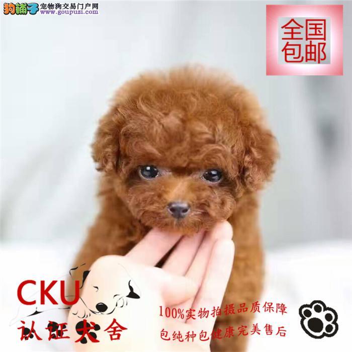 CKU认证犬舍出售泰迪犬 颜色齐全 终身包售后