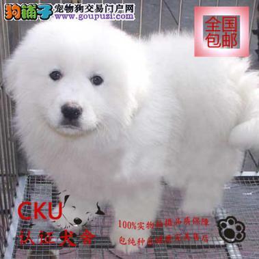 纯种大白熊幼犬出售 专业繁殖包健康 购犬可签协议