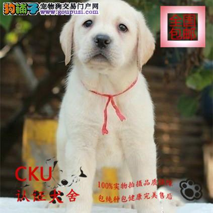 CKU认证犬舍出售拉布拉多犬 终身包售后 买狗送用品