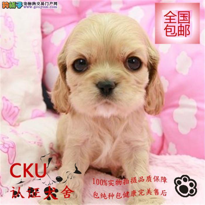 CKU认证犬舍 出售英系可卡犬 疫苗齐全 签协议包健康