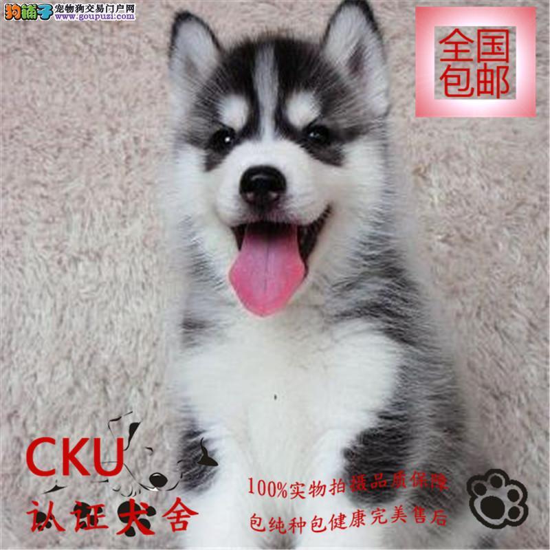 CKU认证犬舍出售哈士奇犬 终身包售后 买狗送用品