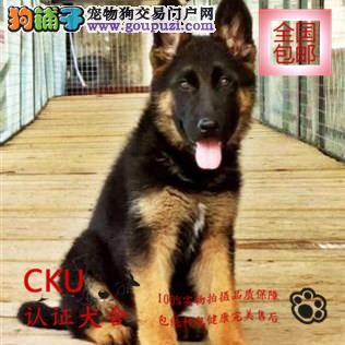 狼狗幼犬出售 质量三包 疫苗齐全 签协议包养活