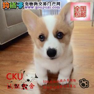狗场直销柯基幼犬 双色三色均有 包纯种买狗送用品