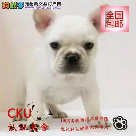 法国斗牛犬幼犬出售 多色可选 签健康协议买狗送用品