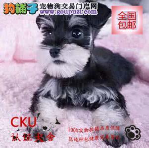 精品雪纳瑞幼犬出售、保纯种保健康、签质保协议