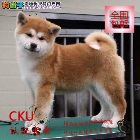 高品质秋田犬幼犬出售/签协议包健康买狗送用品