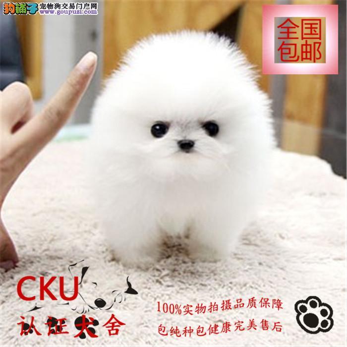 高品质博美 博美俊介幼犬出售 包纯种包健康签质保协议