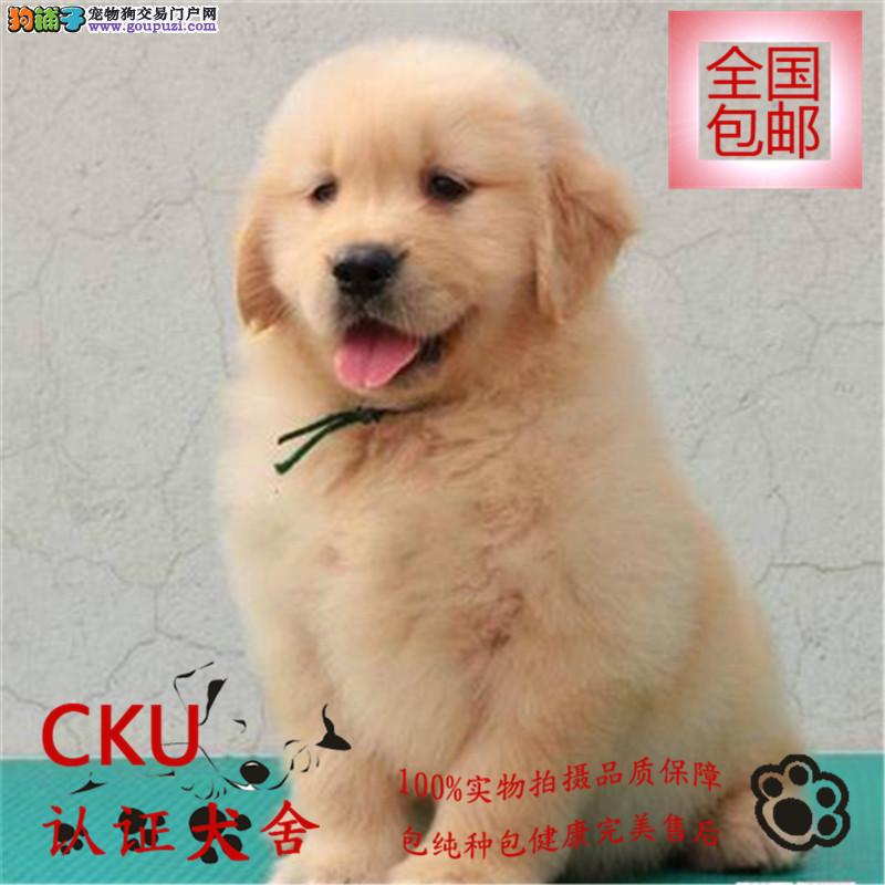 高品质金毛 萨摩耶幼犬出售 包纯种包健康 签质保协议