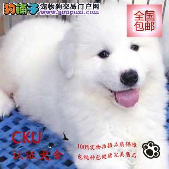 犬舍热卖大白熊幼犬 疫苗齐全 签质保协议 终身售后
