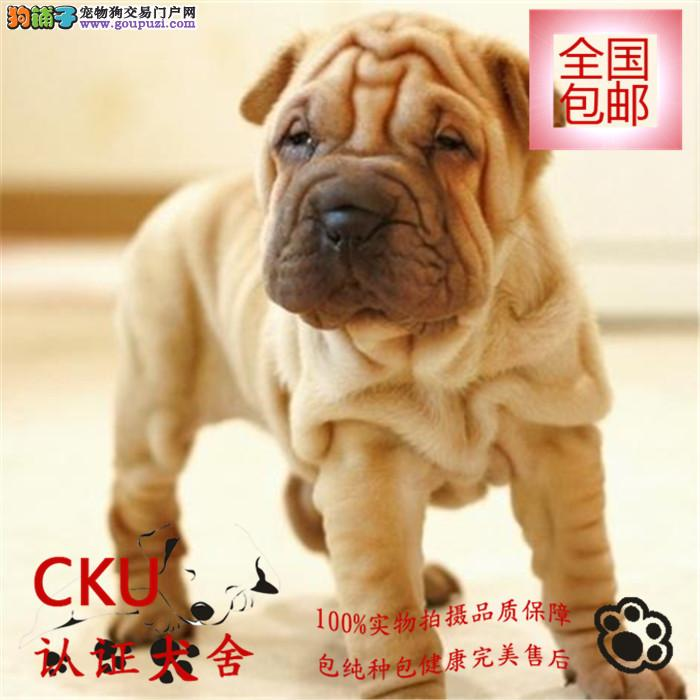 沙皮狗幼犬带血统出售中 疫苗齐全 质量三包签质保协议