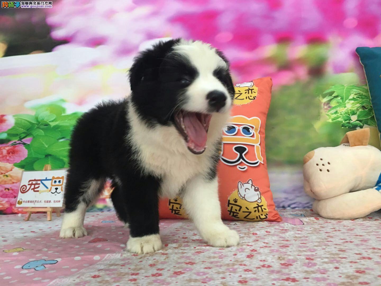 广州买边境牧羊犬必选/广州宠之恋、健康有保障