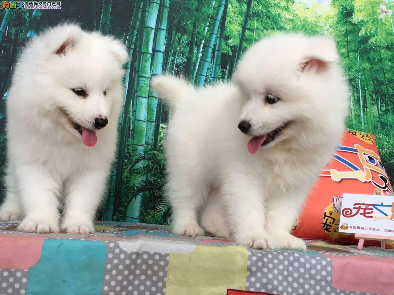 广州宠之恋、金牌养殖基地、精品萨摩犬、包成活签协议