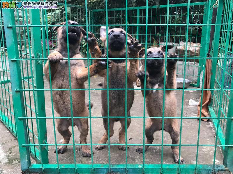 广州买马犬、售后三包、金牌售后、宠之恋品牌欢迎你