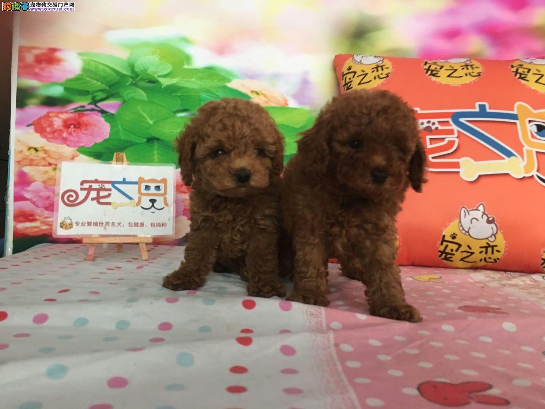 广州宠之恋、金牌养殖基地、精品泰迪犬、包成活签协议