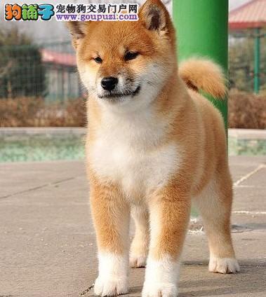 带血统日本柴犬、芯片齐、证书全、广州宠之恋直售