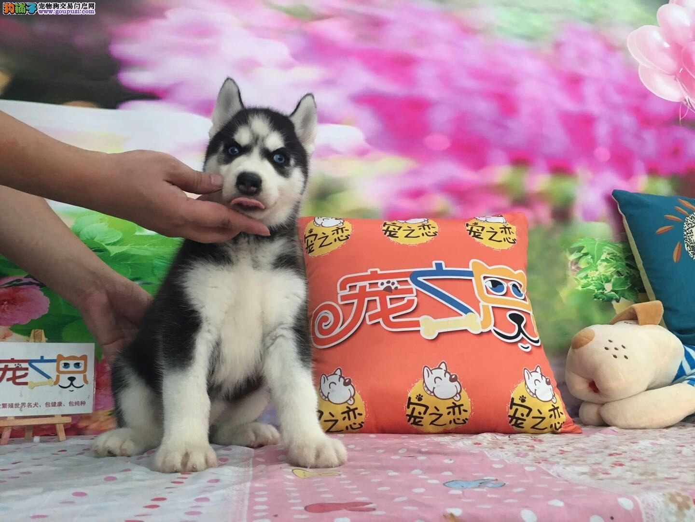 深圳买健康纯种的哈士奇犬、首选深圳宠之恋、包养活