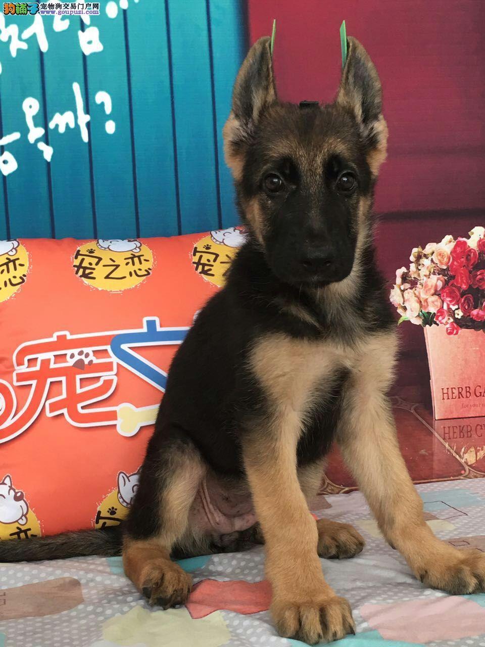 深圳买德国牧羊犬、必去宠之恋、高品质带芯片、包活
