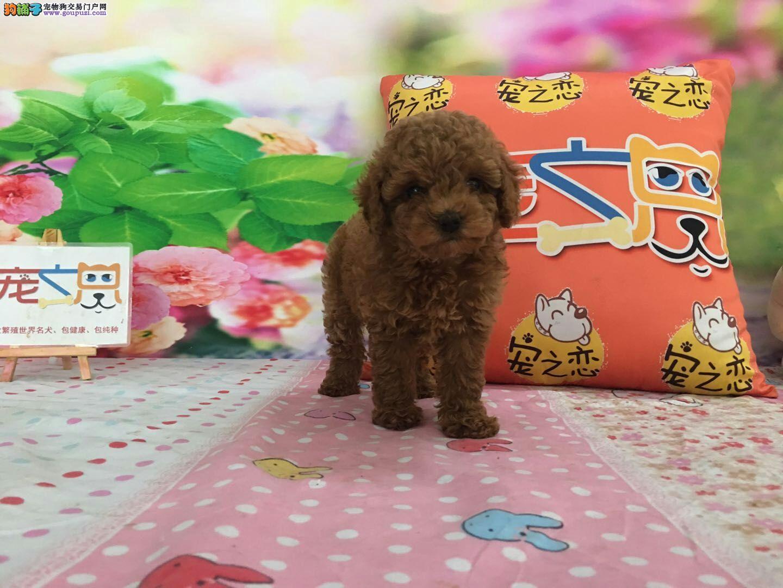 茶杯玩具泰迪犬、高品质泰迪狗、深圳宠之恋、包健康