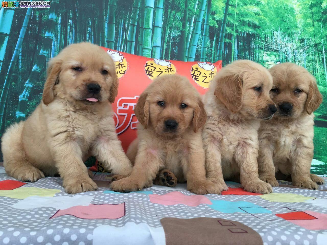 赛级金毛犬、带芯片、深圳宠之恋、只繁殖高品质金毛
