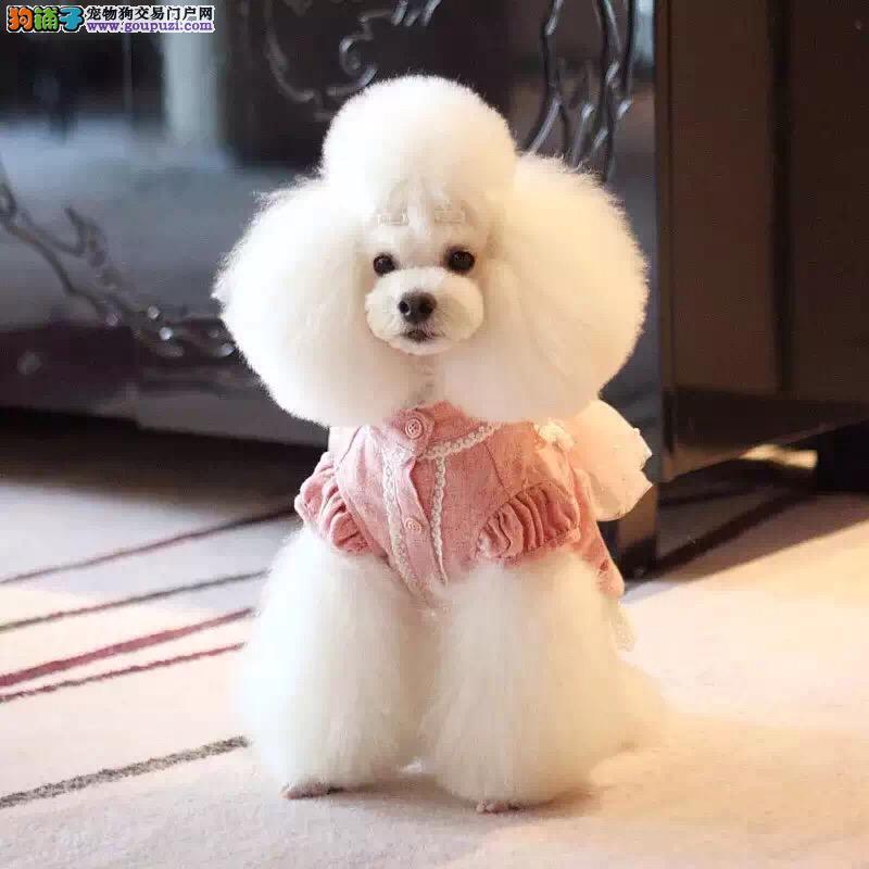 精品泰迪幼犬小体血统清晰可办血统证