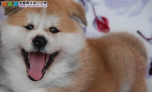 专业繁殖高品质日系秋田幼犬 忠犬八公 赛级品质