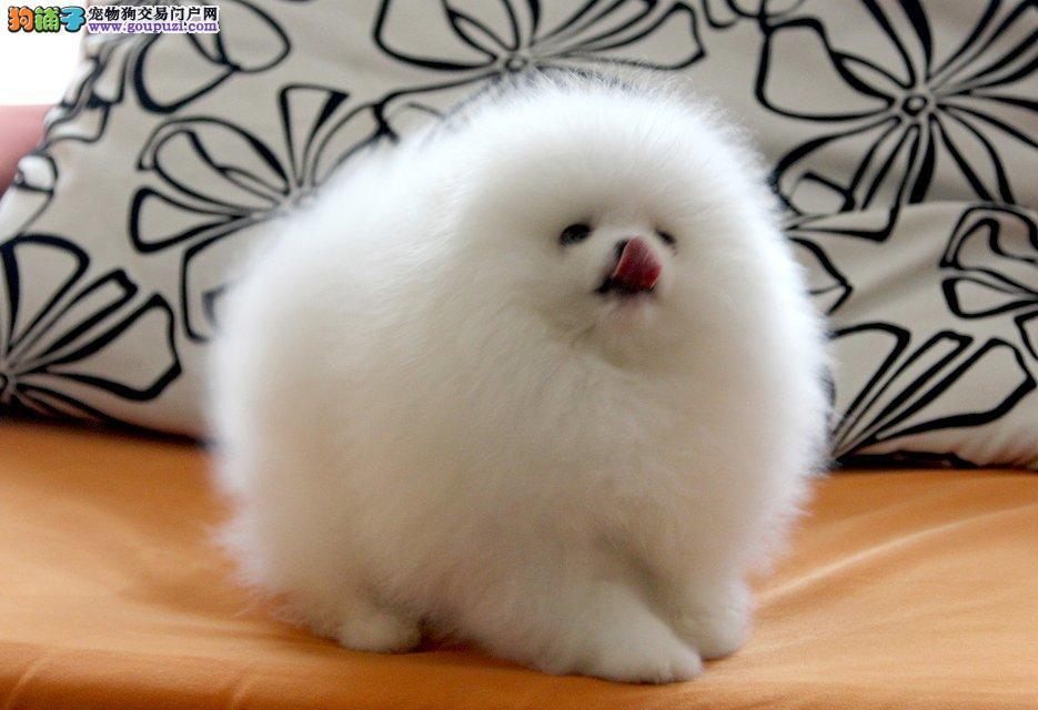 精品俊介博美幼犬哈多利球体包健康纯种小型犬