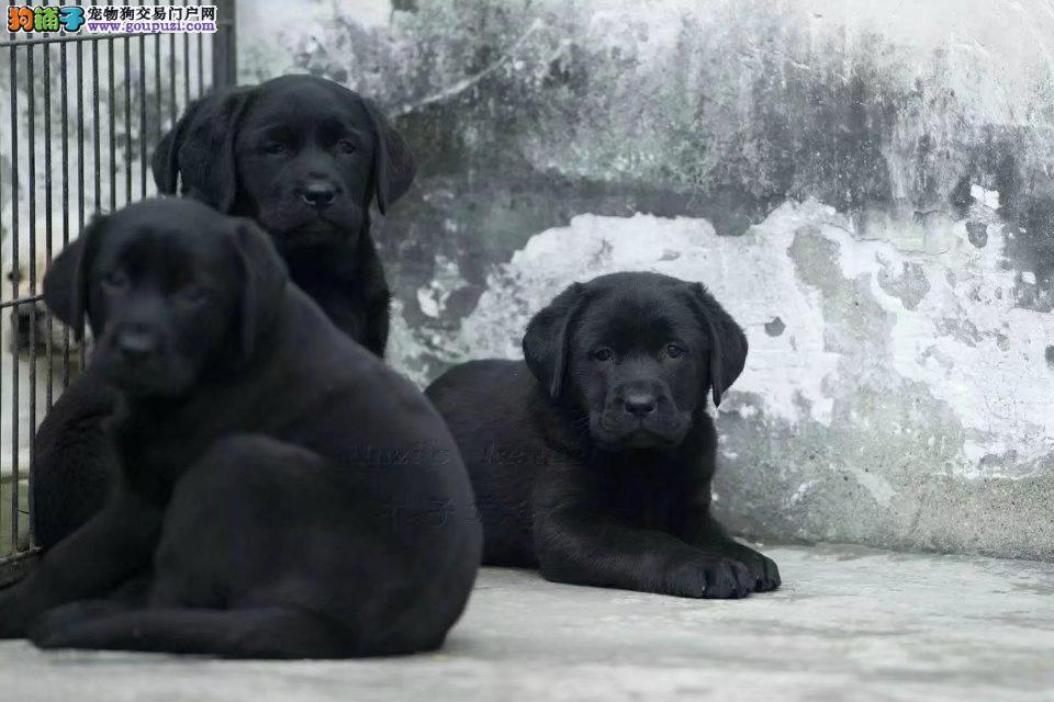 狗场特价出售精品纯种拉布拉多,公母均有可上门挑选