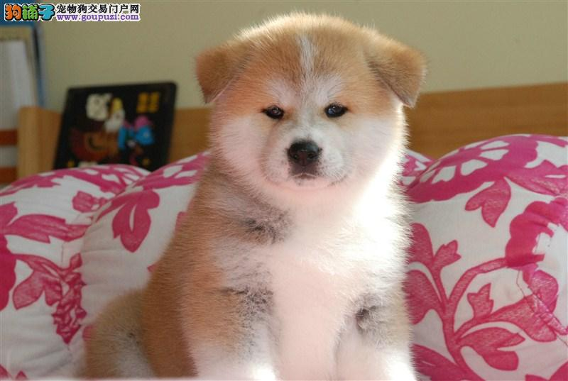 纯种日系秋田幼犬出售 引进日本赛级种公种母