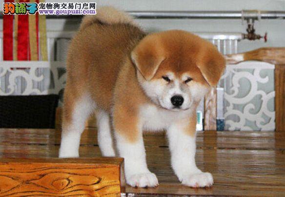 基地直销高品质日系美系秋田幼犬包售后