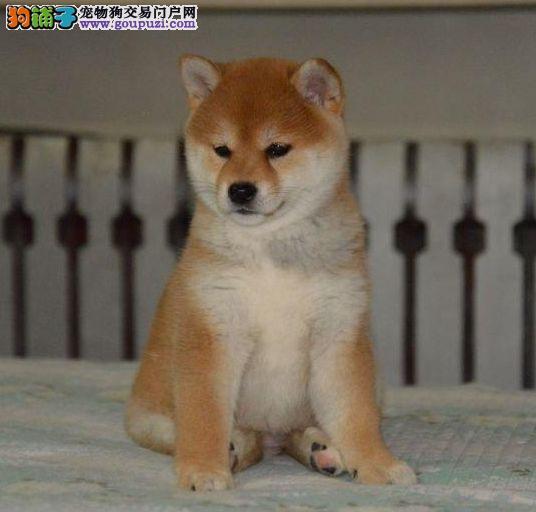 包健康包纯种包养活 高端品质纯种精品日本柴犬