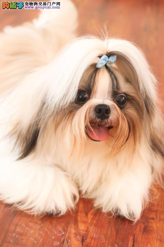 西施犬 纯种西施犬 出售纯种 健康西施幼犬