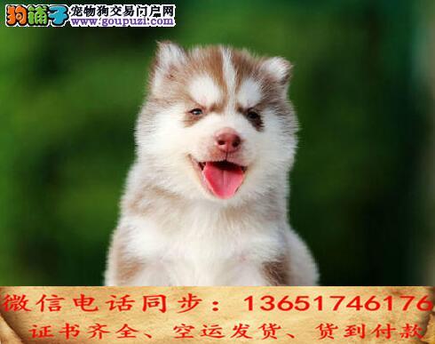 实拍现货视频一哈士奇幼犬保健康保纯种签售后协议