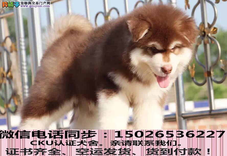 实拍现货视频一阿拉斯加幼犬保健康保纯种签协议